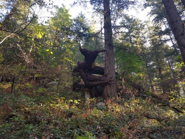 Дьявольское дерево