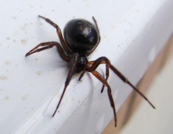 Ядовитый паук в винограде